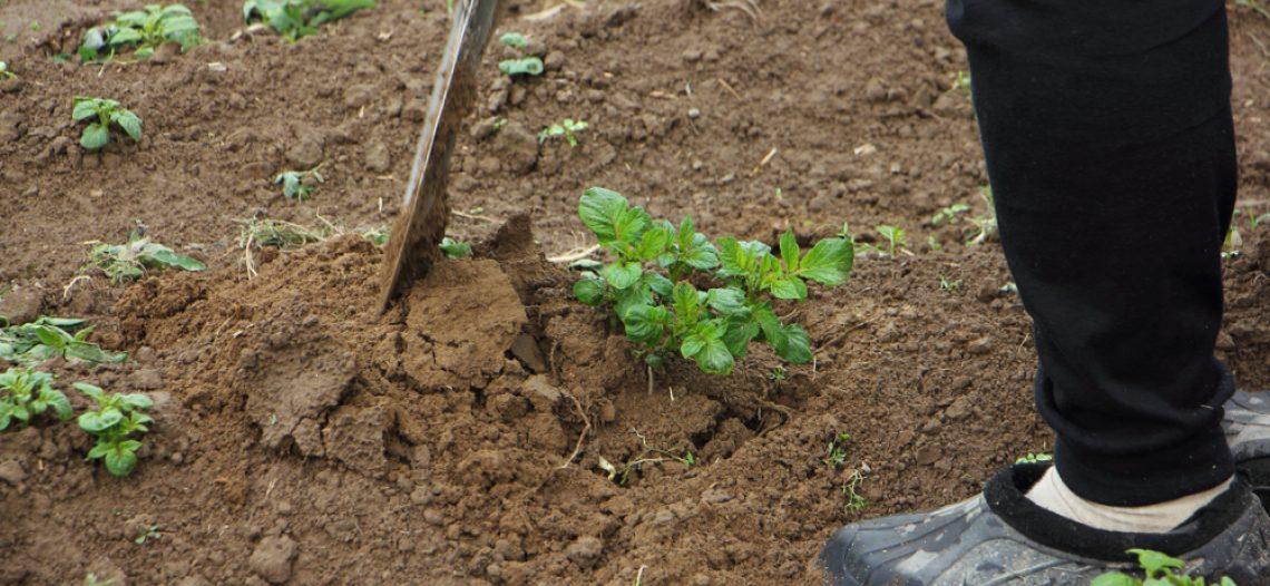 Trapiantare le patate dolci: la proposta di Checchi & Magli